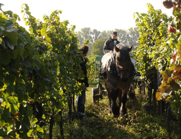 Pferd im Weinberg von Bergdolt-Reif & Nett
