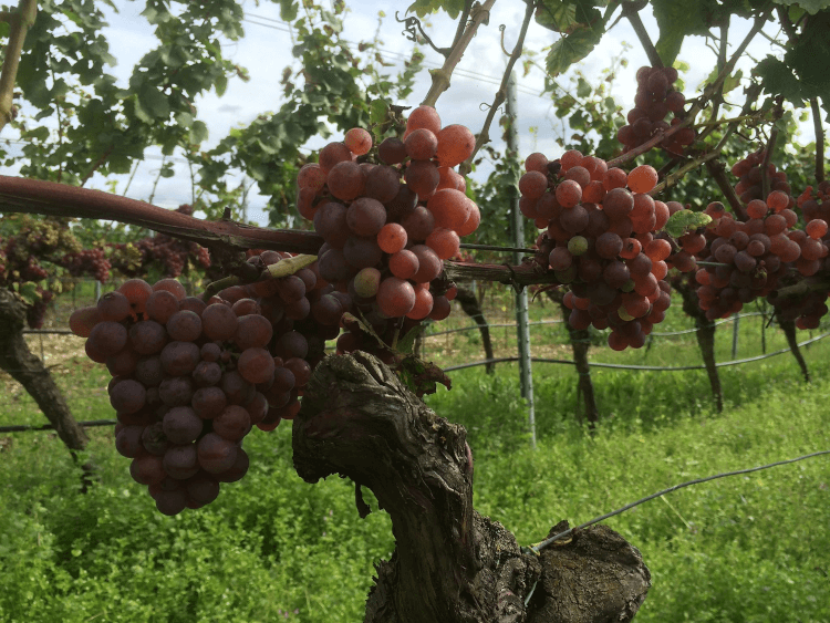 červené, zralé hrozny z Weingut Lukas Kesselring